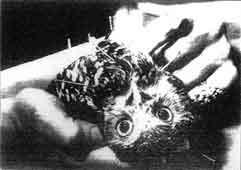 Una lechuza en apuros. Expertos del centro de cuidado de pájaros silvestres de Fort Lauderdale, Florida, someten a una lechuza a un tratamiento de acupuntura. El ave padece una lesión que le impide mantener el equilibrio, y los zoólogos, que no encuentran remedio a su dolencia, la someten regularmente a una sesión de acupuntura para aliviar su problema